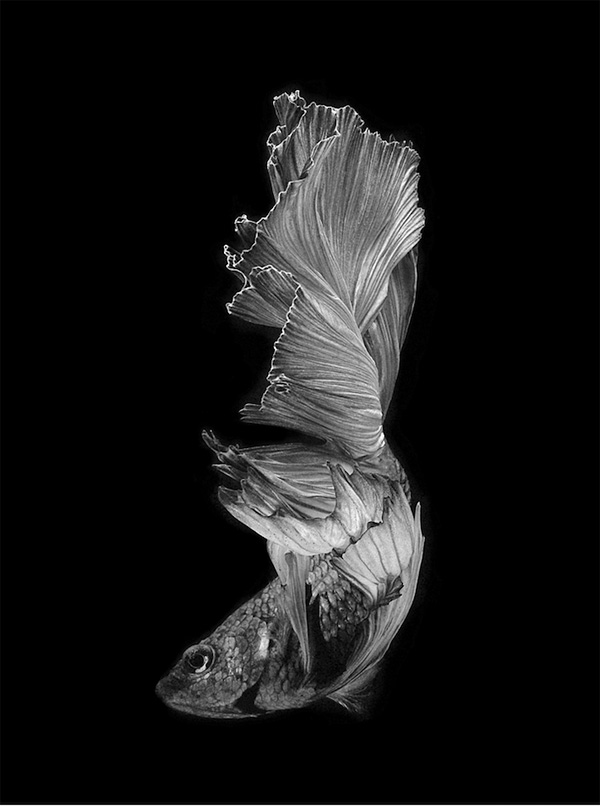 Visarute Angkatavanich摄影作品:泰国斗鱼
