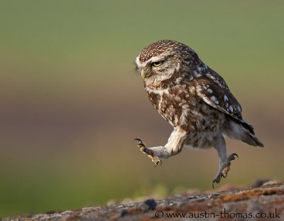 Austin Thomas动物摄影作品:猫头鹰