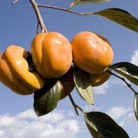 柿子没熟能吃吗 千万别吃没熟的柿子