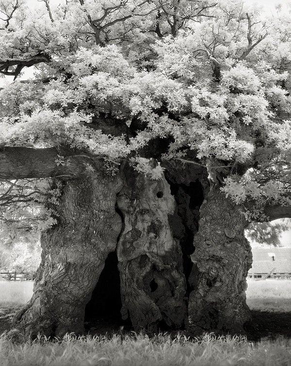 Bowthorpe-Oak-Trunk
