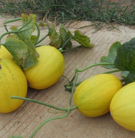香瓜的功效与作用及禁忌 夏季爱上香脆可口的甜瓜