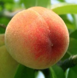 吃桃子要削皮吗 桃子削皮与否关键在于清洗