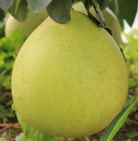 柚子没熟能吃吗 怎么判断柚子熟没熟