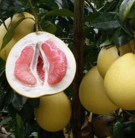 吃柚子嘴唇发麻 吃柚子嘴麻舌麻正常吗
