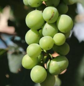 葡萄不甜是什么原因 葡萄不甜的原因