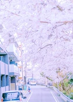唯美樱花图片手机壁纸
