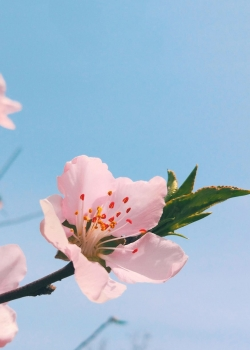 粉色桃花手机壁纸图片